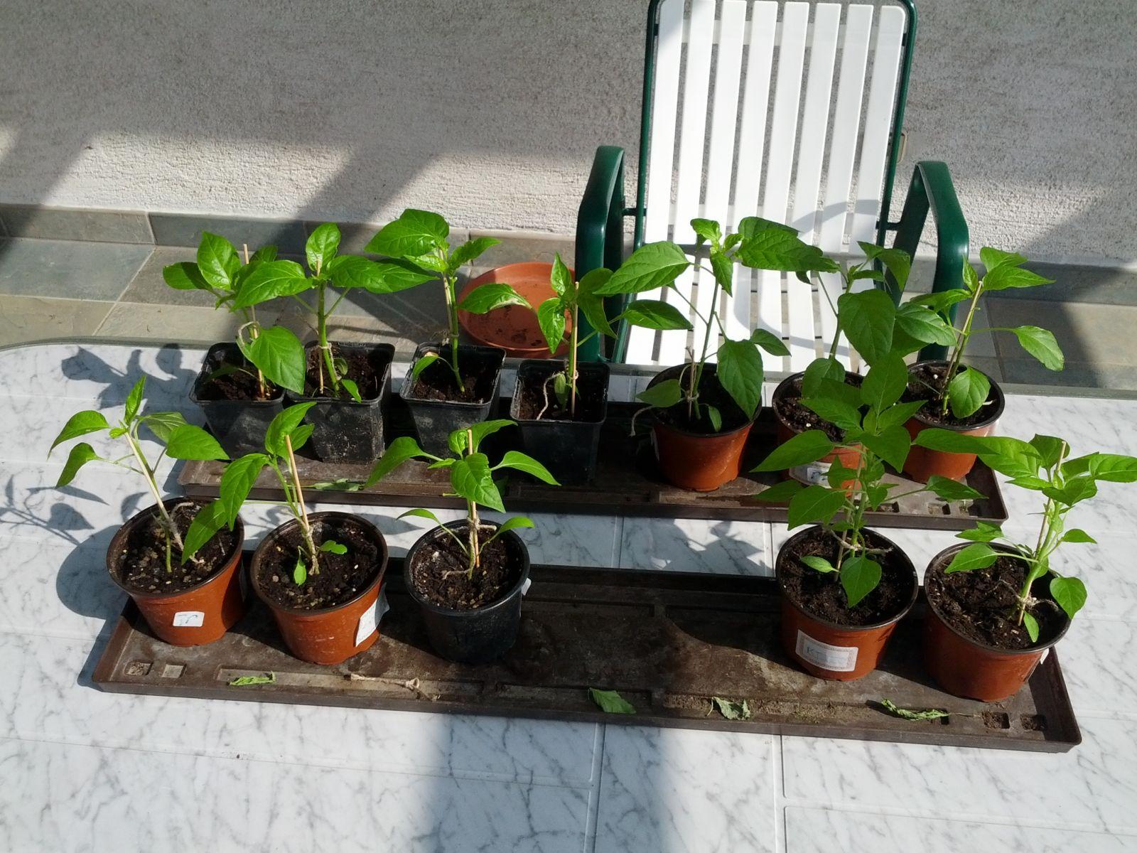 meine chili pflanzen