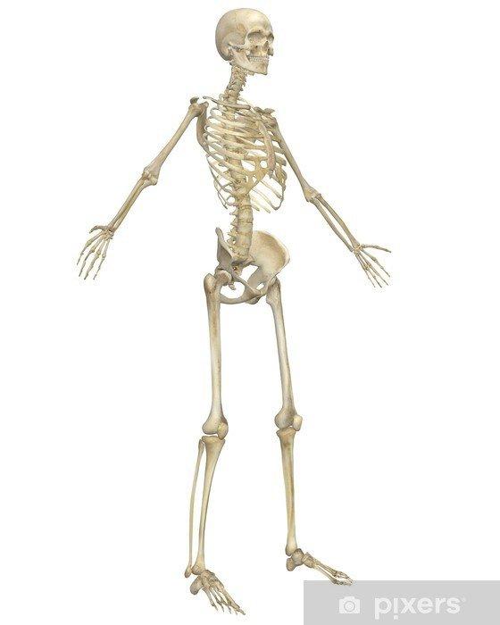 fototapeten-menschliches-skelett-anatomie-abgewinkelte-vorderansicht.jpg.jpg