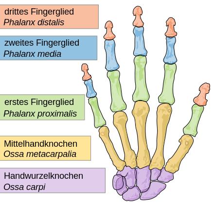 440px-Scheme_human_hand_bones-de.svg.png
